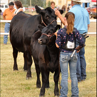 Cattle Shows